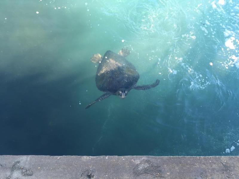 A Pacific Green Sea Turtle hanging out in the San Gabriel River. See them for yourself this Saturday on our fun nature walk!